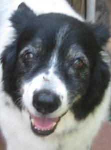 Happy healthy senior dog